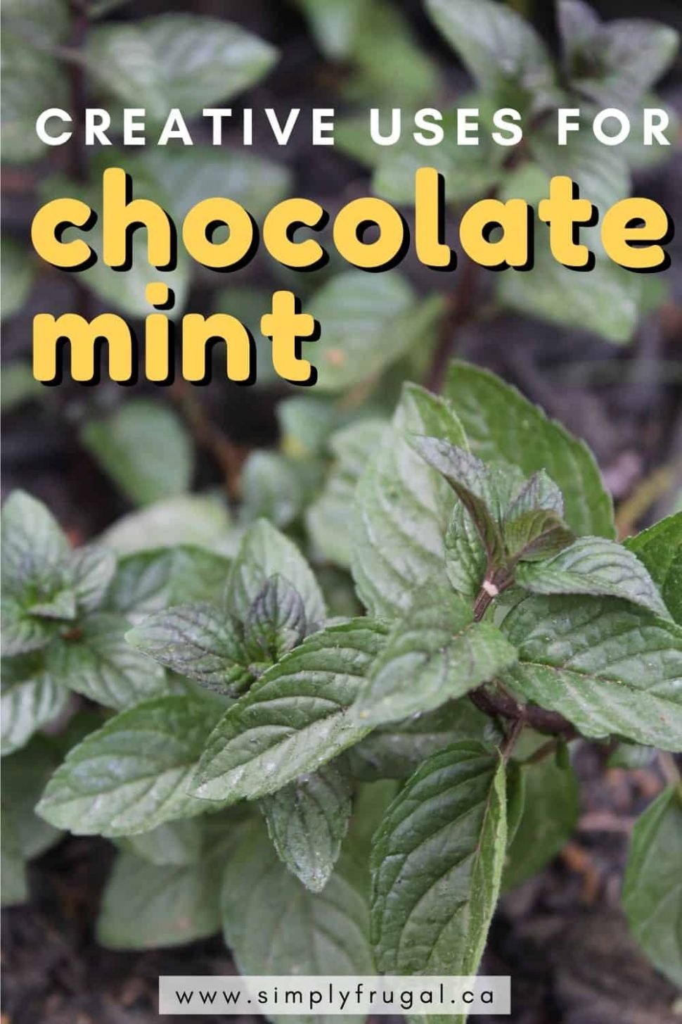12 Creative Uses for Chocolate Mint | Simply Frugal