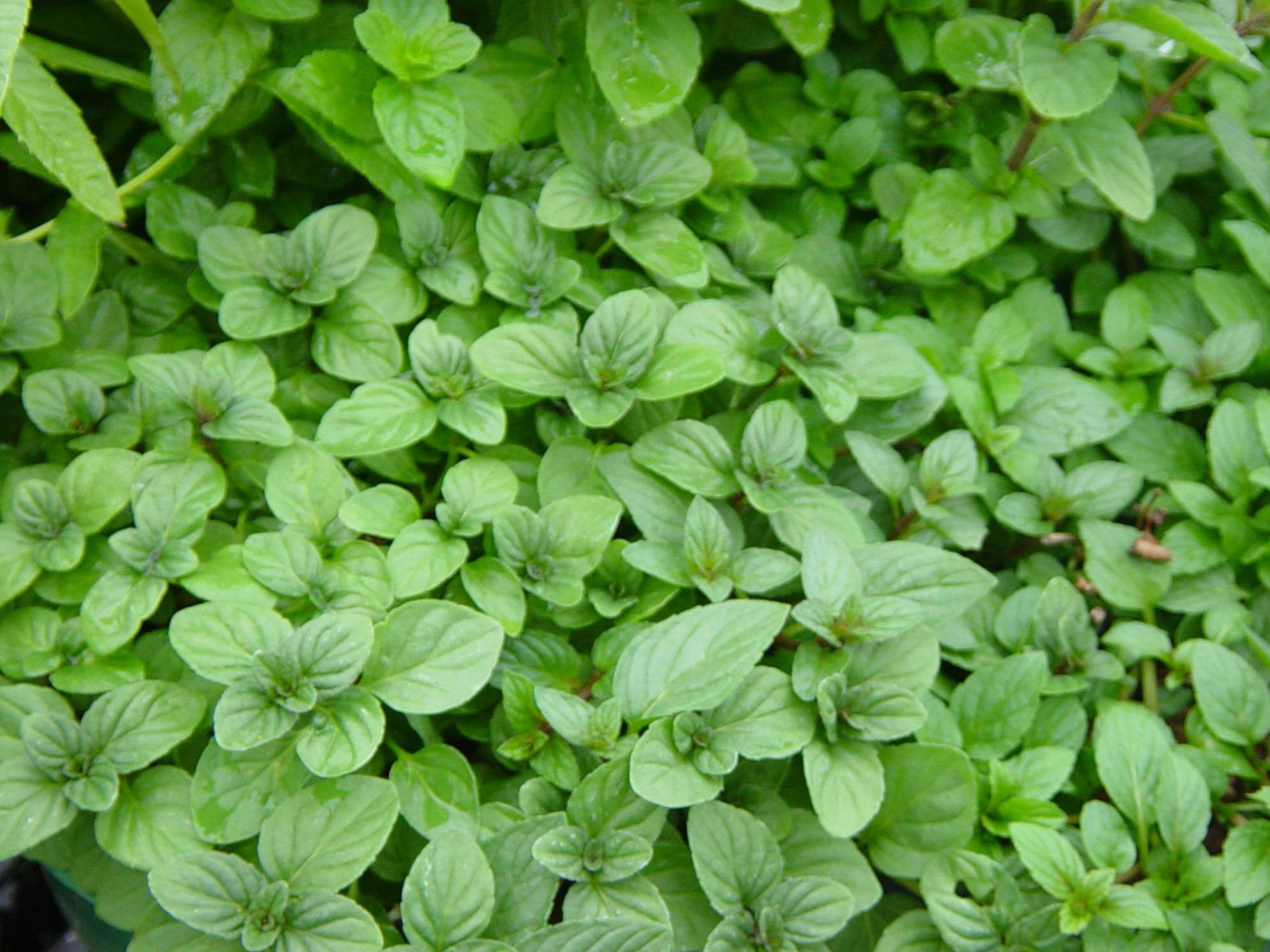 Chocolate Mint Herb | Mint chocolate, Mint plants, Chocolate mint ...