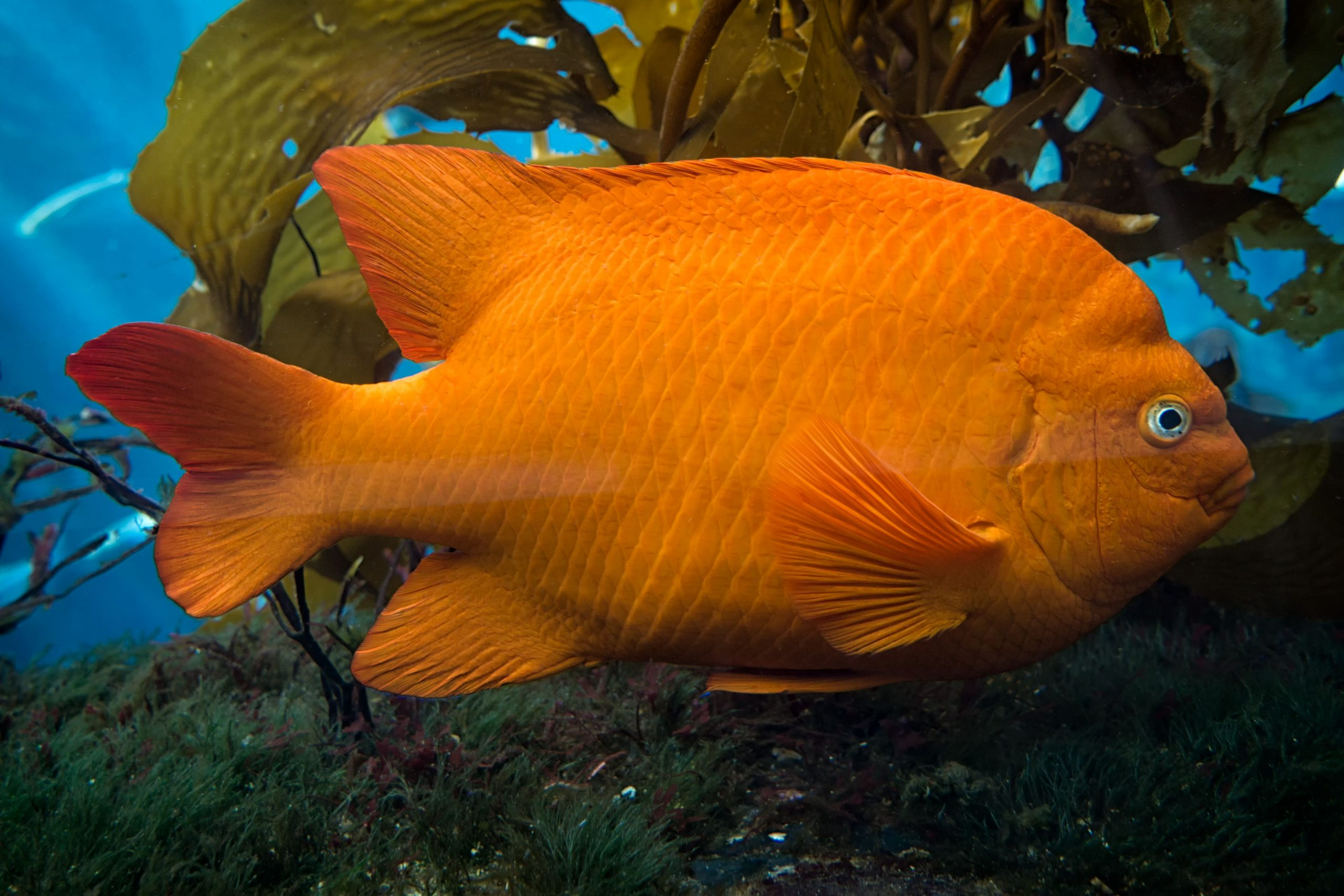 File:Big Orange Fish (9).jpg - Wikimedia Commons