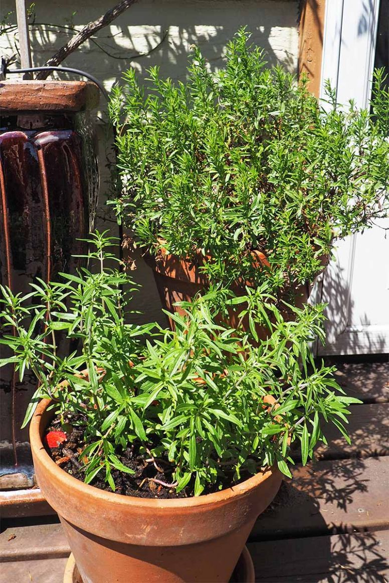 How to Grow and Use Summer Savory | Gardener's Path